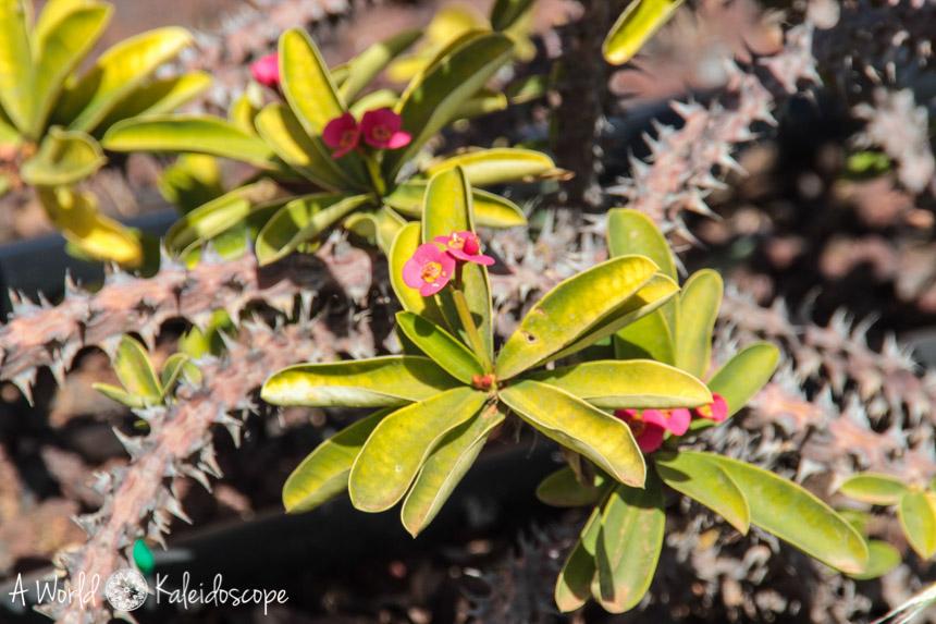 fuerteventura-antigua-flower