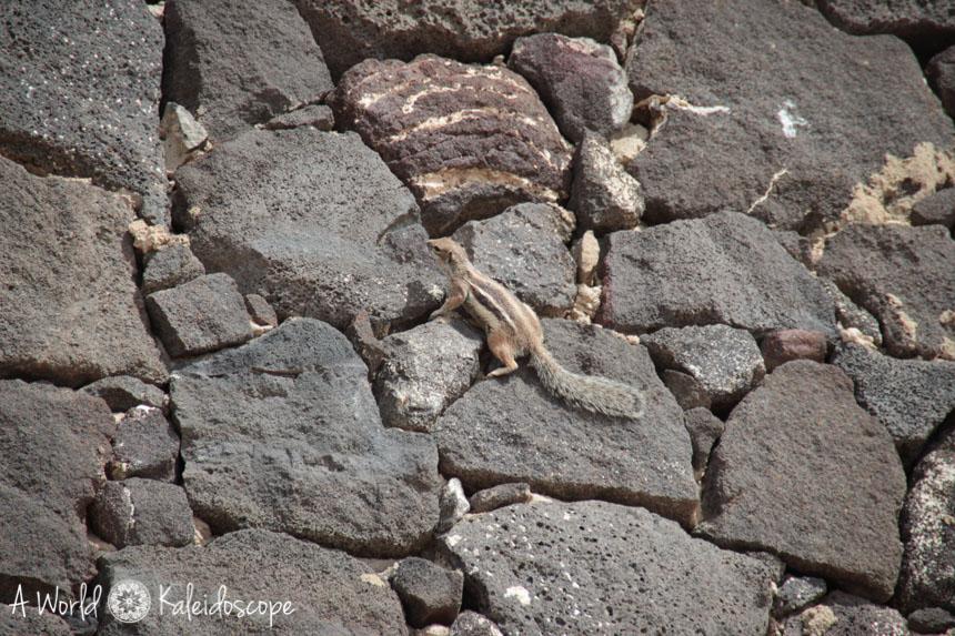 fuerteventura-sotavento-erdhoernchen